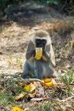 Monkey in Africa wildlife eat banana. Wild monkey in Africa nature wildlife. African wildlife primate animal monkey royalty free stock image