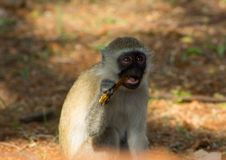Wild monkey in Africa nature wildlife eats. Monkey in Africa wild nature eats. African wildlife primate animal monkey looking up Stock Image