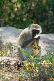 Wild monkey in Africa nature wildlife eats banana. Monkey in Africa wild nature eats banana. African wildlife primate animal monkey looking up stock photo