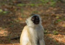 Wild monkey in Africa nature wildlife. Monkey in Africa wild nature. African wildlife primate animal monkey looking up Royalty Free Stock Photos