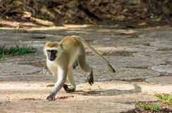 Wild monkey in Africa. City on a tree. African wildlife primate animal monkey royalty free stock photography