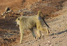Monkey baboon in Africa wild nature savannah royalty free stock photo