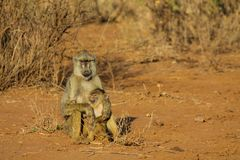 Monkey baboon family in Africa wild nature savannah royalty free stock photo