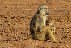 Monkey baboon family in Africa wild nature savannah stock image