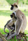 Wild monkey with baby. Wild monkey embraces her baby, Asia, Sri Lanka Stock Photo