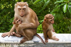 Wild monkey with a baby royalty free stock images