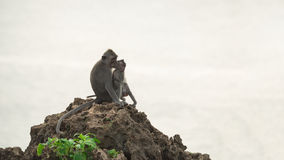 Wild monkey and baby in natural habitat Stock Image