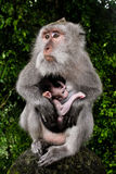 Wild monkey with baby Royalty Free Stock Photos