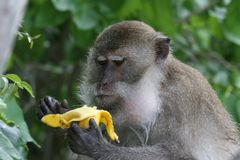 Wild monkey with banana. Wild monkey on the beaches of phi phi island eating a banana royalty free stock photos