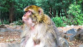 Wild monkey Barbary Apes in Cedre Forest close to Azrou, Middle Atlas, Morocco. In Africa stock footage
