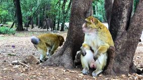 Wild monkey Barbary Apes in Cedre Forest close to Azrou, Middle Atlas, Morocco. In Africa stock video footage