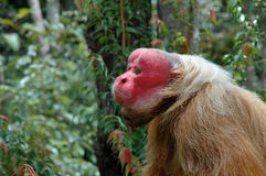 Wild Monkey Brazil Royalty Free Stock Image