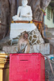Wild monkey with Buddha sculpture on the background Stock Images