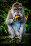 A Wild Monkey Easts A Banana stock image