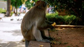 Monkey eating banana stock video