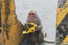 Wild monkey eating banana Stock Image