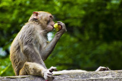 Wild Monkey Eating Fruit. A wild monkey eating some fruit in Qianling Mountain Park in Guiyang China Stock Photos