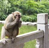 Wild Monkey Eating Fruit. A wild monkey sitting on a ledge while eating fruit at the Qianling Mountain park in Guiyang China Stock Images