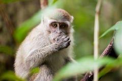 Wild monkey eating Stock Images