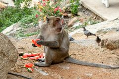 Wild monkey is eating watermelon near buddhist temple in national park. Thailand royalty free stock photography
