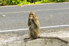 Wild monkey eats fruit Stock Images