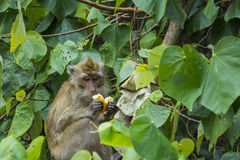 Wild monkey enjoying a piece of bread Stock Photo