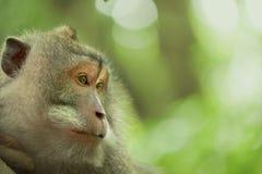 Wild monkey face jungle wildlife green background Royalty Free Stock Photo