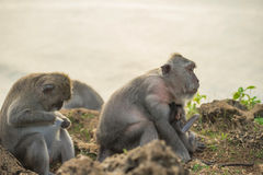 Wild monkey family mom baby wildlife habitat Royalty Free Stock Photo