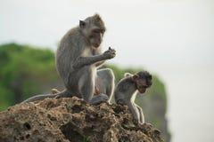 Wild monkey habitat jungle background wildlife Royalty Free Stock Images