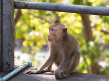 Wild monkey among the half construction half natural and behave naturally. Royalty Free Stock Images