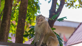 Wild monkey among the half construction half natural and behave naturally. Stock Images