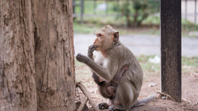 Wild monkey among the half construction half natural and behave naturally. Royalty Free Stock Photo