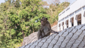 Wild monkey among the half construction half natural and behave naturally. Royalty Free Stock Image