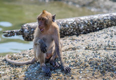 Wild monkey Hua Hin Beach Thailand. Royalty Free Stock Images