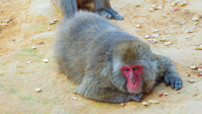 Wild monkey II Royalty Free Stock Images