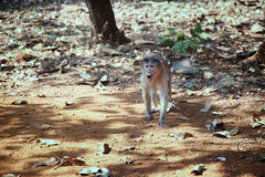 Wild monkey in the jungle of India Stock Image