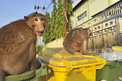 Wild monkey looking for food in a garbage Stock Photo