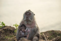 Wild monkey mom baby feeding wildlife campaign Stock Images