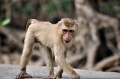 Wild Monkey Stock Images