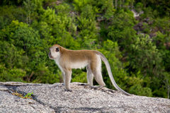 Wild Monkey on the mountain Royalty Free Stock Photos
