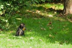 Wild monkey Royalty Free Stock Photo