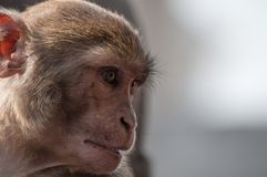 Wild monkey portrait closeup in Nepal Royalty Free Stock Image