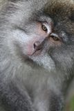Wild monkey portrait Royalty Free Stock Image