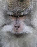 Wild monkey portrait Royalty Free Stock Images
