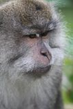 Wild monkey portrait Stock Image