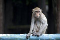 Wild monkey posing Royalty Free Stock Images