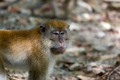 Wild Monkey at Pulau Ubin Island Stock Images
