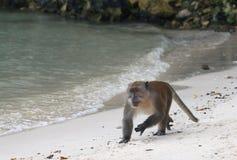 Wild monkey runs at  beach Royalty Free Stock Photography