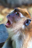 The wild monkey shows teeth Royalty Free Stock Image