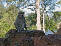 Wild monkey from siem riep Royalty Free Stock Photography